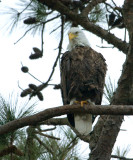 2-13-10 eagle male 7363.jpg