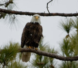 2-13-10-eagle-male-7294.jpg