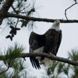 2-13-10-eagle-male-7338.jpg