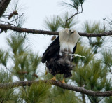 2-13-10-eagle-poop-shot-7288.jpg