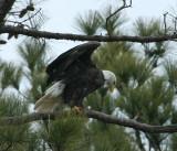 2-13-10-eagle-male-7289.jpg