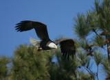 2-14-10-eagle-male-7481.jpg