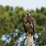 2-17-10 eagle sub-adult 7560.jpg