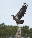 2-17-10 eagle sub-adult 7575.jpg