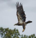 2-17-10 eagle sub-adult 7579.jpg