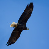 2-20-10-eagle-female-with-grass-7686.jpg