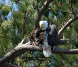 2-21-10-eagle-female-8287.jpg