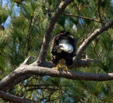 2-21-10-female-eagle-8327.jpg