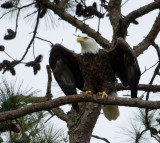 2-27-10-eagle-male-8934.jpg