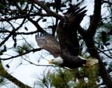 2-27-10-eagle-male-8937.jpg