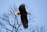 2-28-10 eagle male 9095.jpg