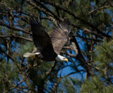 3-6-10-eagle-female-9244.jpg
