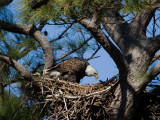 3-10-10-female-eagle-eating-fish-9405.jpg