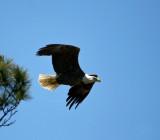 3-17-10-male-eagle-0800.jpg