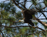 3-20-10-eagle-female-2379.jpg