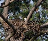 3-20-10-eagle-pair-2079.jpg