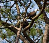 3-21-10-eagle-pair-2875.jpg