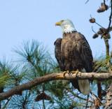 3-21-10-eagle-male-2-2898.jpg