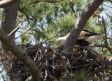 3-24-10-eagle--female-3147.jpg