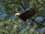 3-27-10-eagle-female-with-branch-4080.jpg