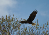 3-27-10 eagle male 4421.jpg