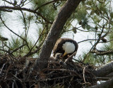 4-3-10-eaglet-eating-9072.jpg