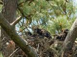 4-17-10-3-eaglets-3401.jpg