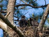 4-30-10-5702-eaglets.jpg