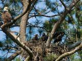5-1-10-6748-3-eaglets.jpg