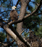 5-1-10-6707-female--eaglet.jpg