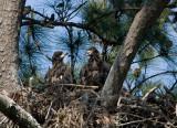 5-1-10-6751-eaglets.jpg