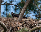 5-2-10-7280-eaglet-with-branch.jpg