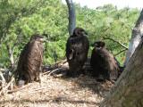 5-5-10-2556-3-eaglets.jpg