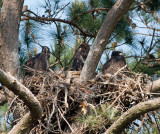5-8-10-8838-3-eaglets.jpg