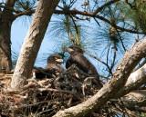 5-9-10-9420-3-eaglets.jpg