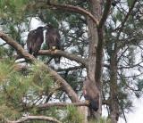 6-3-10-8435-3-eaglets.jpg