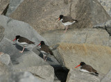 American Oystercatchers 0562