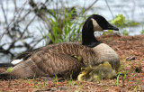 goose and goslings 0697 5-2-08.jpg