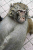 Monkey with wire muzzle.