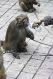 Monkey with wire muzzle on head given water.