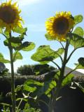 Sunflowers July 2008