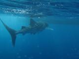 Exmouth diving (9) Whale Shark.jpg