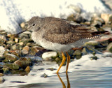 Yellowlegs, Lesser