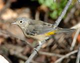Warbler Virginias D-010.jpg