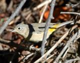Warbler Virginias D-011.jpg