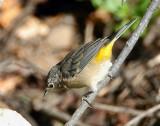 Warbler Virginias D-009.jpg