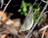 Warbler Virginias D-008.jpg