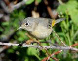Warbler Virginias D-007.jpg