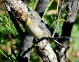 Warbler Virginias D-006.jpg
