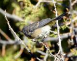 Warbler Virginias D-005.jpg